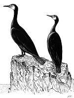 cormoran, corbeau de mer.